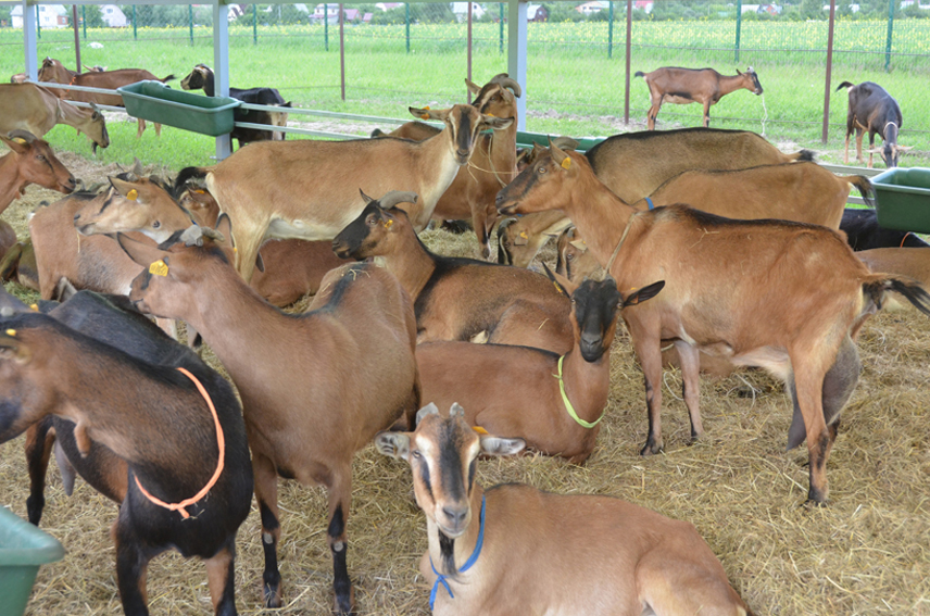 goats farm in bylkino 2